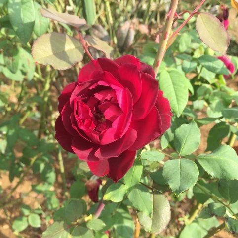 黒薔薇 ルイ14世