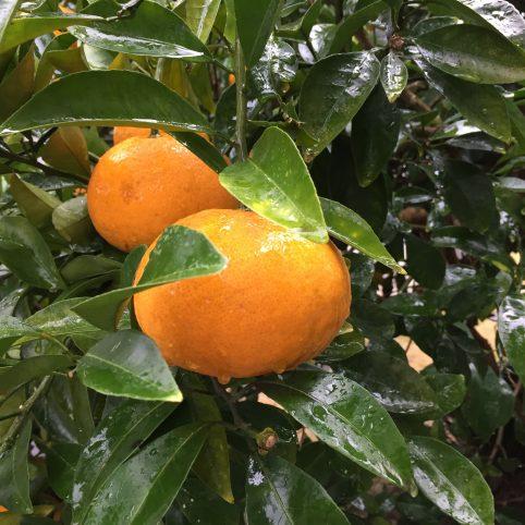 12月の柑橘類